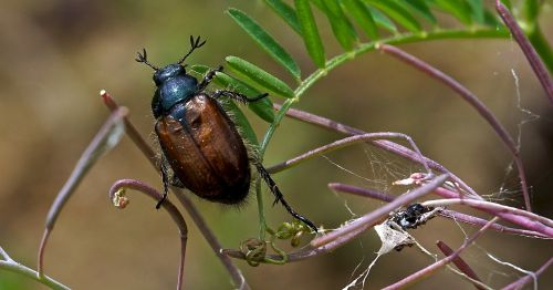 insect beetle nature