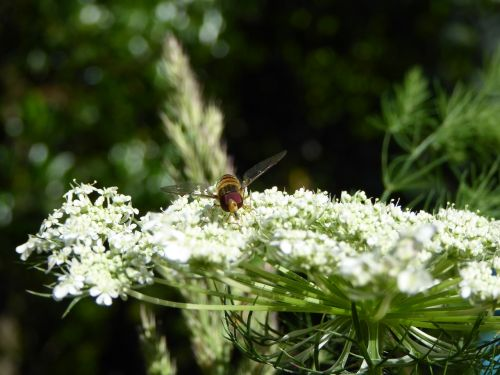 insect fly bee