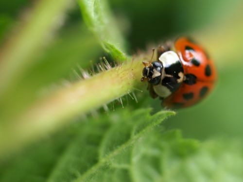 insect nature ladybird