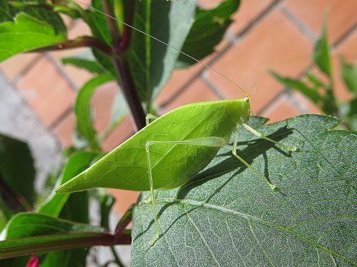 insect macro cricket