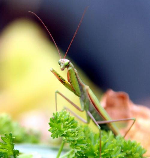 insect mantis grasshopper