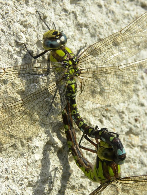 insect dragonflies wall