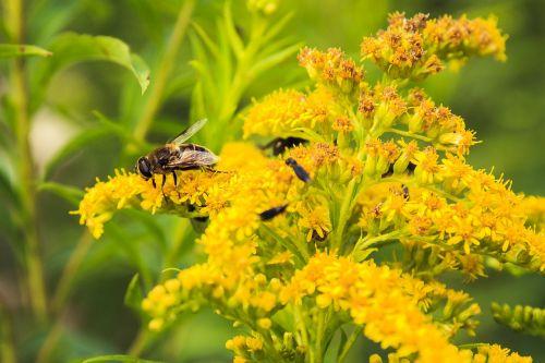vabzdys,geltonos gėlės,vyresnysis,geltona gėlė,geltona juoda,Uždaryti,geltona,vasara,žiedlapis