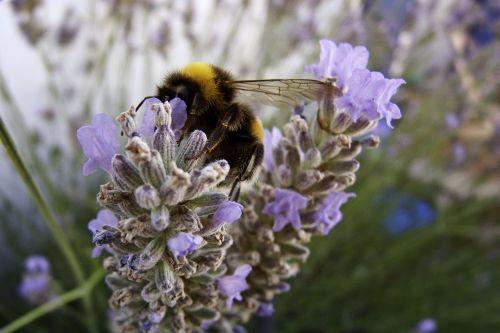 insect bourdon lavender