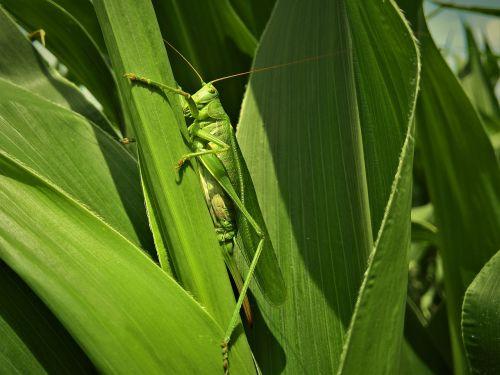 insect locust corn