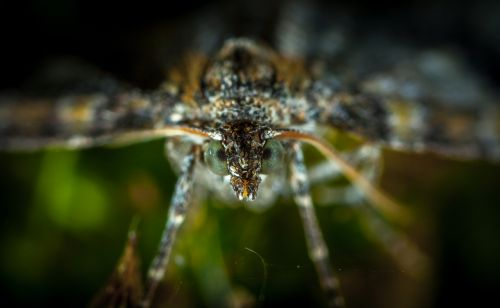 vabzdys,gamta,lauke,gyvoji gamta,gyvūnai,makro,lepidoptera,drugys