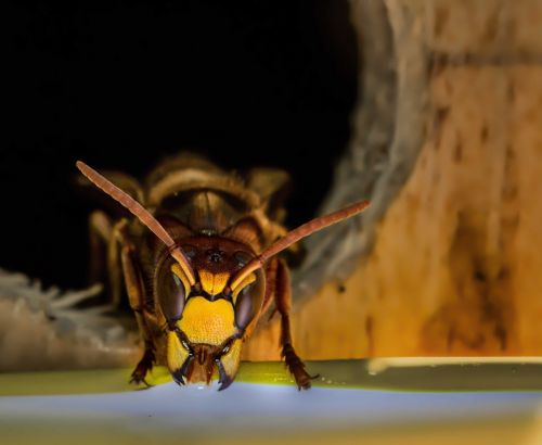 insect wasp hornet