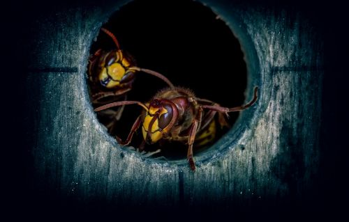 insect wasps hornets
