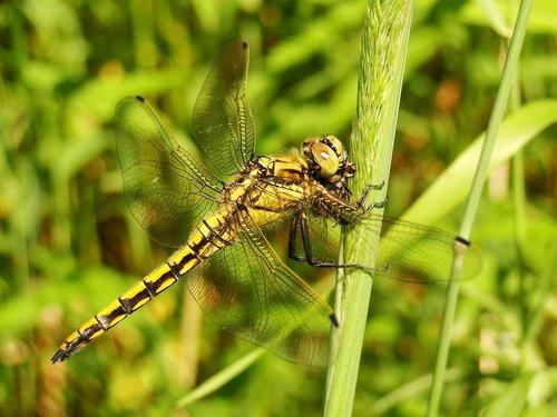 insect  nature  dragonflies różnoskrzydłe