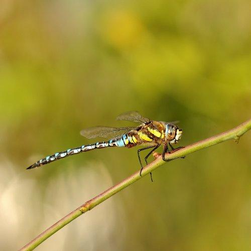 vabzdys, pobūdį, Dragonfly, Gyvūnijos pasaulyje, gyvūnas, tvenkinys, vandens, Reed, mėlyna-žalia mozaika pamergė