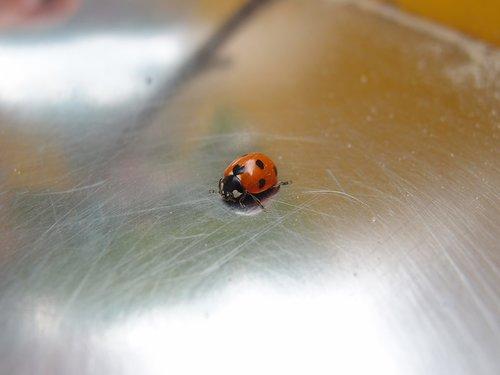 insect  ladybug  beetle