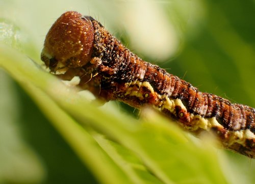 insect  larva  caterpillar