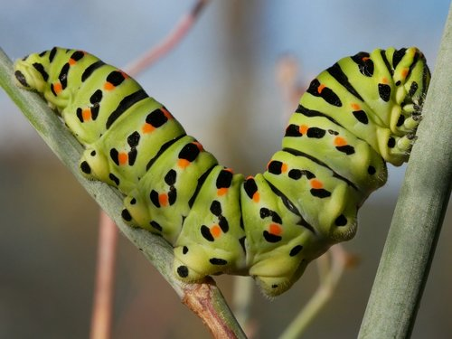 insect  caterpillar  larva
