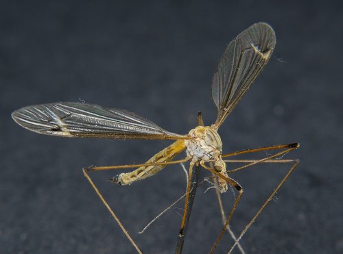 insect  daddy longlegs  close up