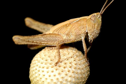 insect  macro  konik