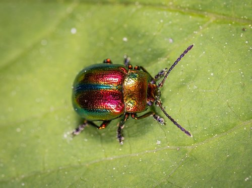 insect  beetle  coleoptera