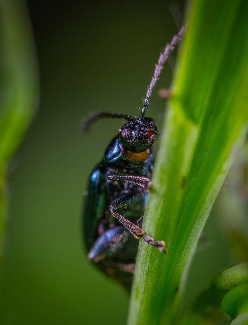 insect  macro  beetle