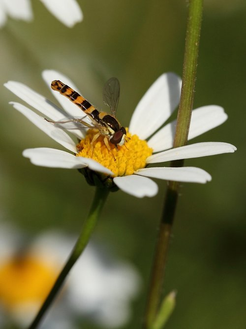 insect  hoverfly  marguerite