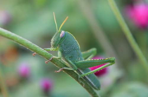 insect  grasshopper  green
