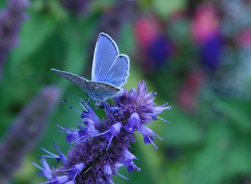 insect  butterfly  common blue