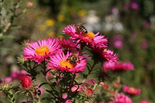 insect  bees  flowers