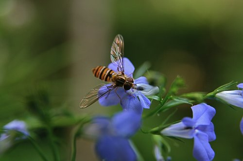 insect  hoverfly  flying