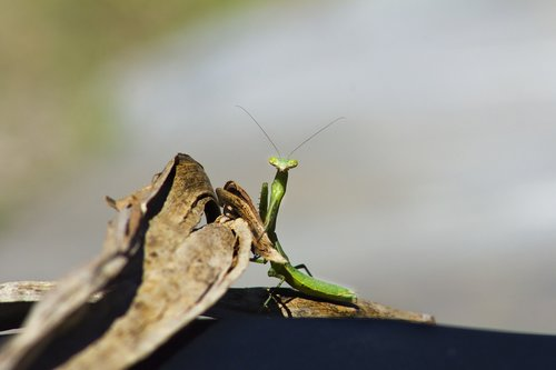 insect  mantis  green