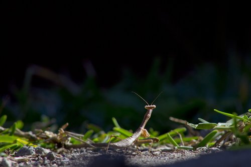 insect  mantis  nature
