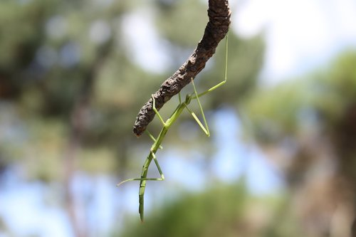 insect  nature  stick insect