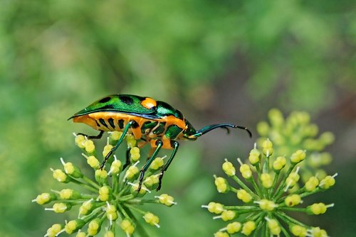 insect  jewel beetle  garden
