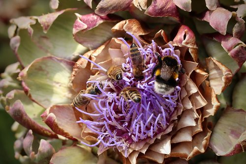 insect  hummel  bees