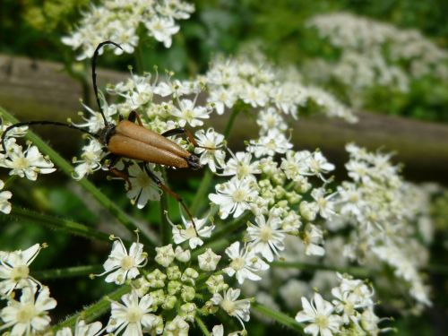 insect beetle schwarzspitziger neck bock
