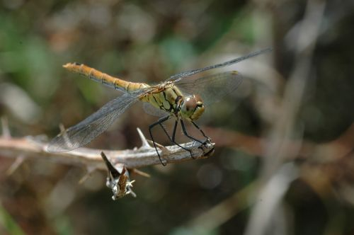 insect dragonfly macro