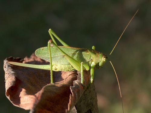 insect grasshopper konik