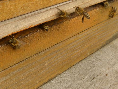 insect bees apis mellifera