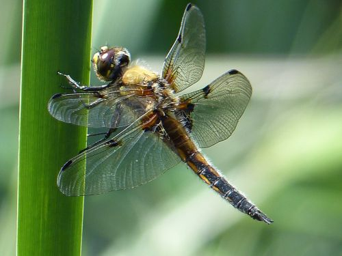 insect dragonfly animal