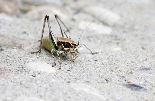 grille grasshopper insect