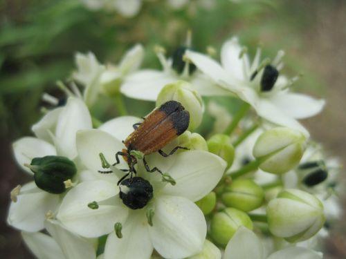 Insect On Orinthogalum Aribicum