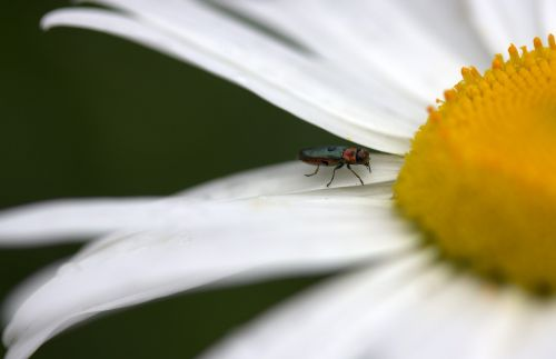 insecta flower daisy