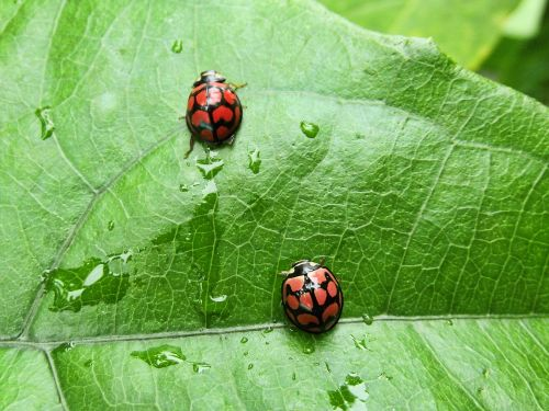 insects ladybirds ladybird