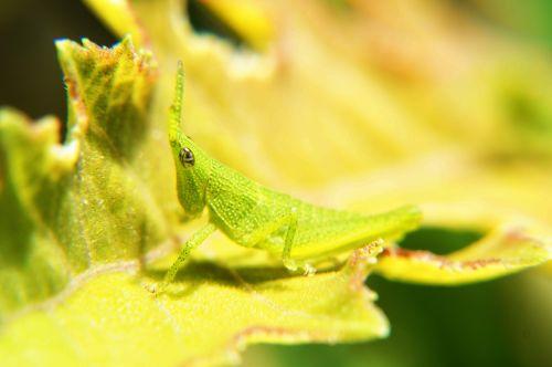 vabzdžiai,makrofotografija,makro,lapai,entomologija,sodas,Salvadoras