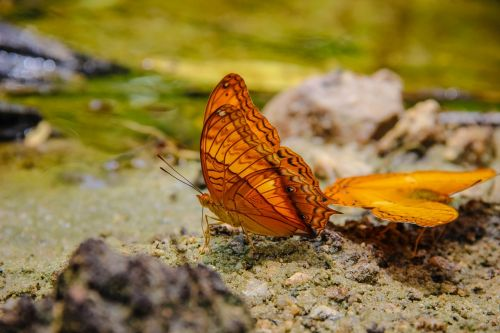 insects butterfly tan pointed tail wong nymphalidae