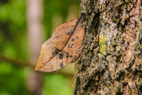 insects butterfly leaves huge wong nymphalidae