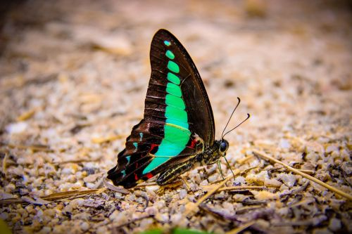 insects butterfly backpack blue wong papilionidae
