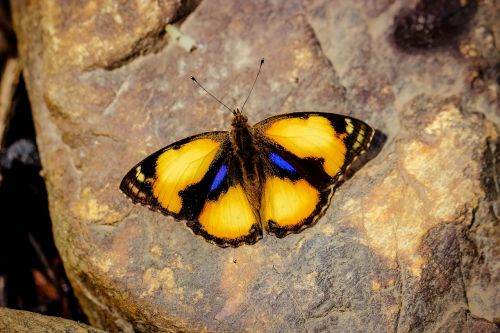 insects butterfly pansy yellow wong nymphalidae