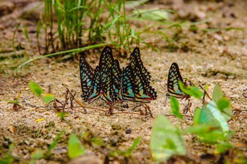 insects butterfly caterpillar annual report a separate point wong papilionidae