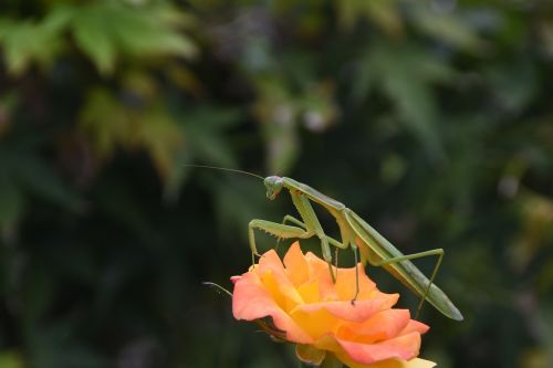 insects mantis nature