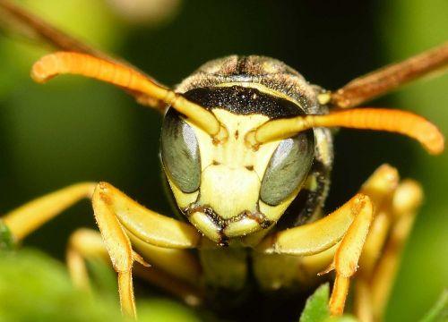 insects hymenoptera wasp