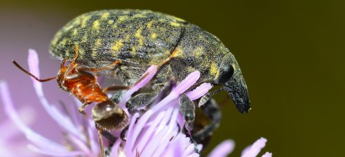 insects weevil beetles