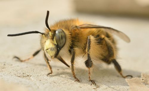 insects hymenoptera bee
